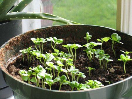 выращивание на рассаду