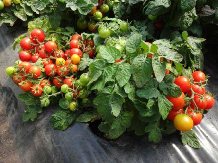 низкорослые помидоры для севера