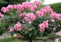 розы после зимы