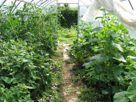 выращивание перцев и огурцов в одной теплице