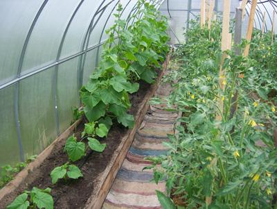 огурцы и помидоры в одной теплице