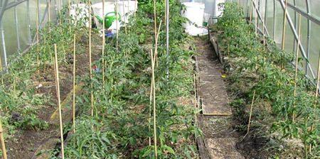 подкормка томатов через две недели