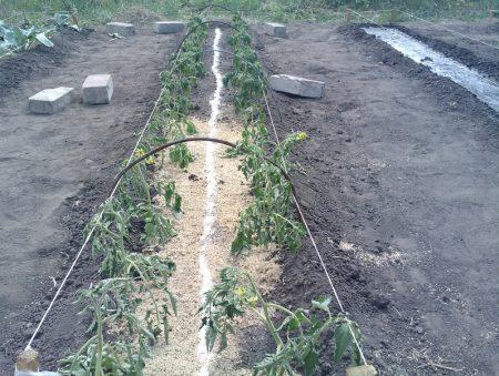 правильная подкормка помидоров