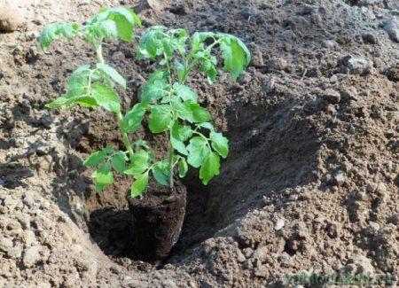 чем подкармливать рассаду томатов