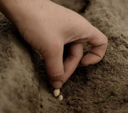 как высаживать кабачки в открытый грунт семенами