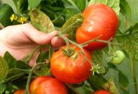Болезни помидоров и их лечение, фото