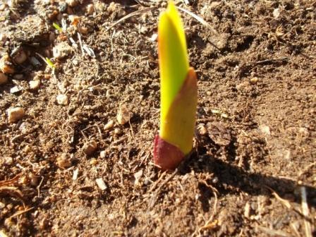 росток гладиолуса