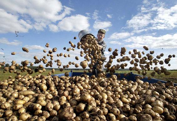 Как правильно сажать картошку,