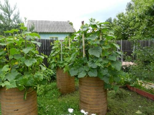 Огурцы в бочке, выращивание Ганичкина