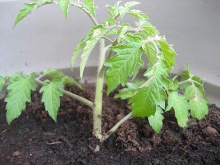 когда высаживать рассаду помидоров