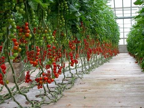 уход за помидорами после высадки в теплицу
