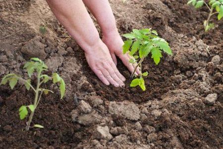уплотнить землю вокруг рассады