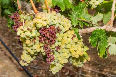 болезни винограда фото чем лечить