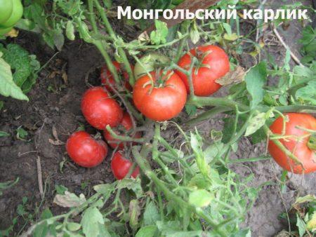 томат монгольский карлик