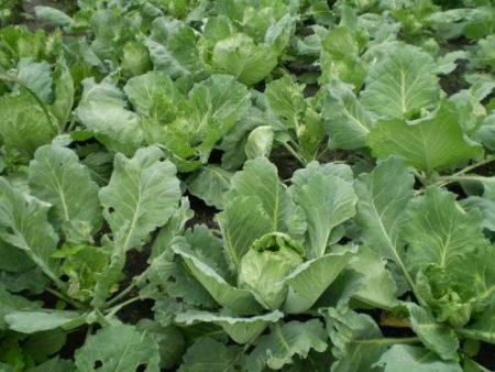 вредители капусты и как с ними бороться