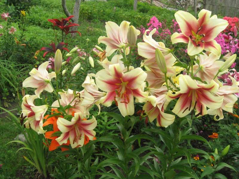 уход за лилиями после цветения