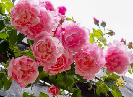 уход за розами осенью