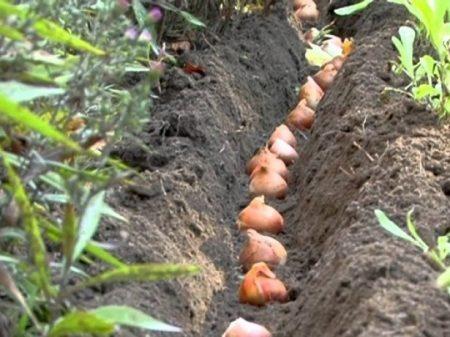 Сроки посадки тюльпанов под зиму в 2021 году