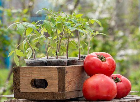 Посадка помидоров на рассаду в 2020 году: Лунный календарь
