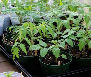 рассада томатов для теплицы