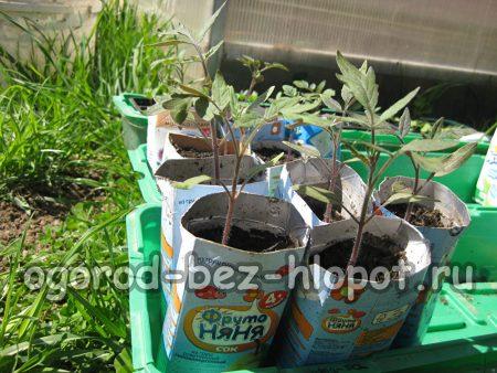 пересадка рассады томатов в просторные емкости