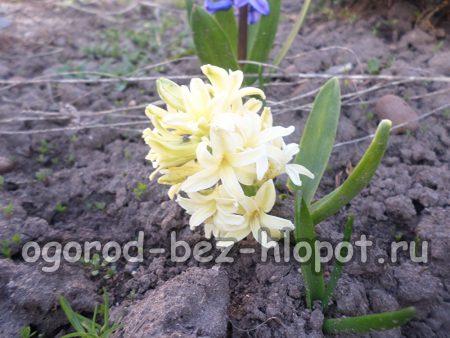 Подкормка и уход в период активного роста и цветения гиацинтов
