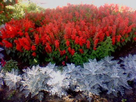 Сальвия: фото цветов, рассада, когда сажать