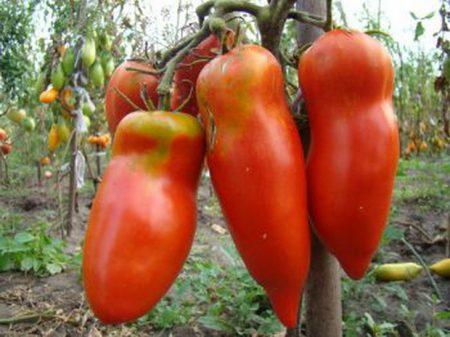 Новые сорта томатов сибирской селекции на 2016 год