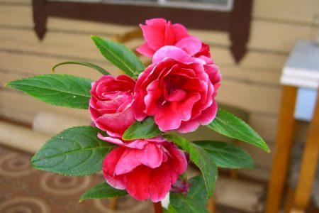 Бальзамин садовый: посадка и уход, фото