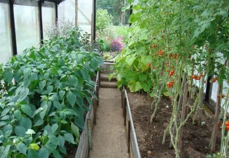 помидоры и перец в одной теплице