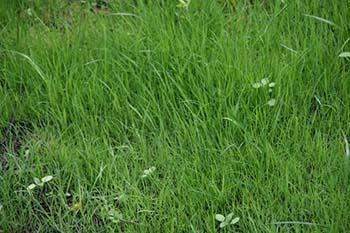 Газонная трава, которая уничтожает сорняки