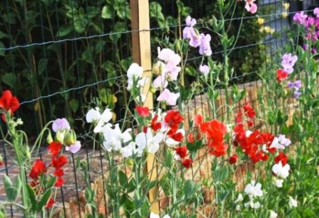 Душистый горошек однолетний, выращивание из семян