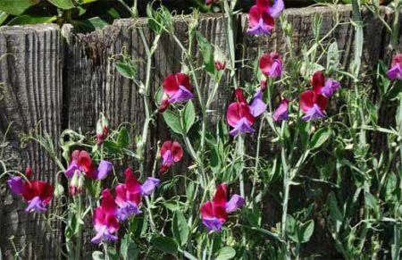 выращивание душистого горошка