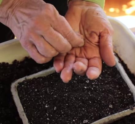 высадка семян астры
