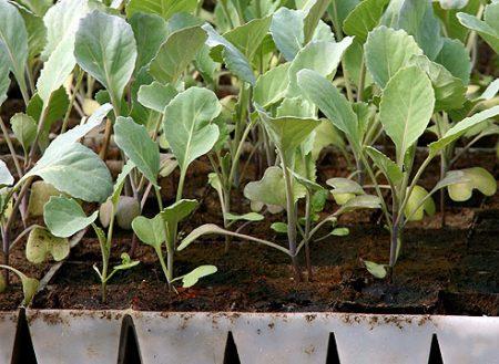 Когда сажать цветную капусту в 2016 году
