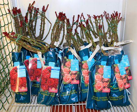 Как сохранить саженцы роз до посадки