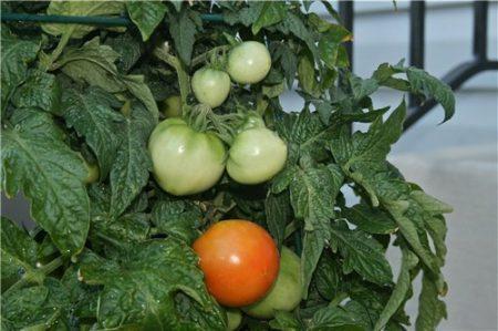 Помидоры рассада, выращивание, когда сеять