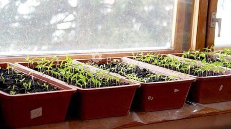Сроки посадки рассады в домашних условиях