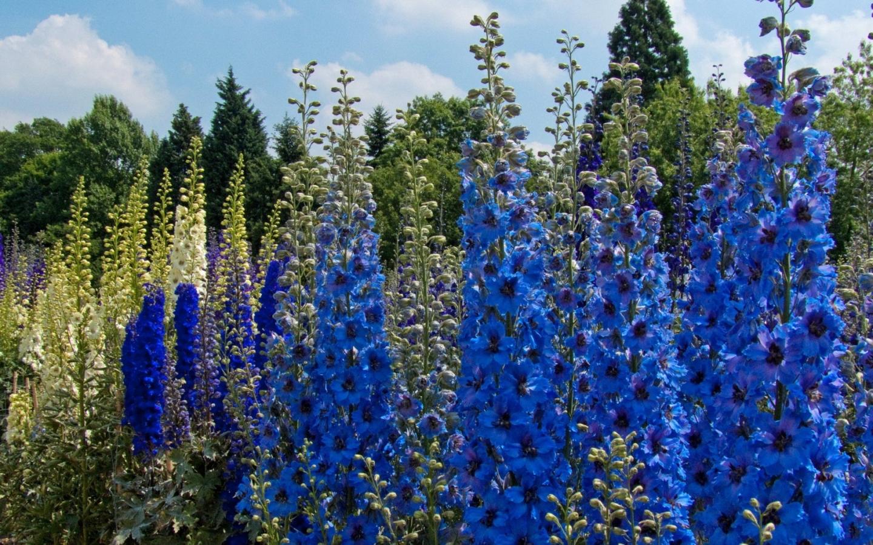 поиски цветущие высокие уличные цветы фото и названия очень интересная