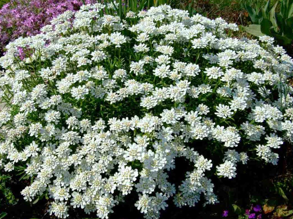 заправки фото цветов многолетников с названиями низкорослые видом