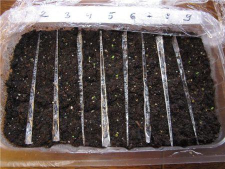 Петуния: выращивание из семян, когда сажать
