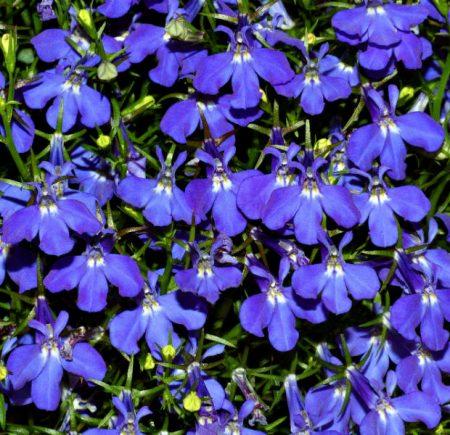 Лобелия: выращивание из семян в домашних условиях
