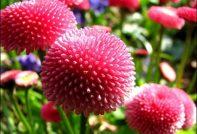 маргаритка выращивание из семян