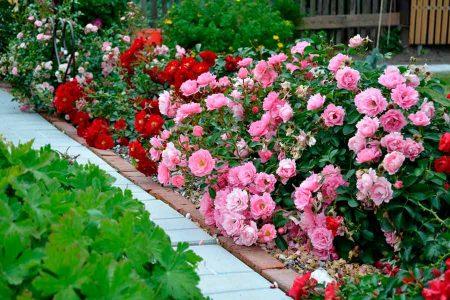 Как сохранить саженцы роз до посадки, купленные ранней весной