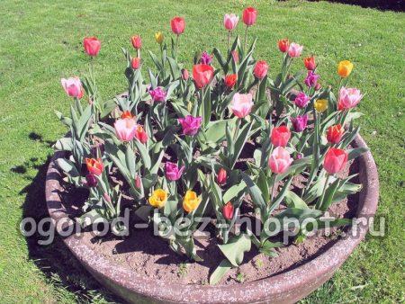 Цветы тюльпаны: описание с фото, выращивание, размножение