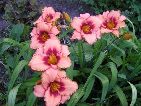 Лилейники в дизайне сада, с какими цветами сочетается, фото