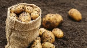 благоприятные дни для посадки картофеля в мае 2020