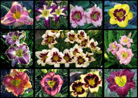 виды лилейников в саду