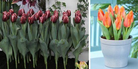 о выгонке тюльпанов