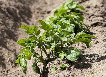 посадка картошки в мае